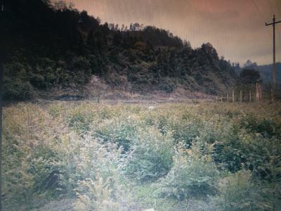 贵州省黔东南苗族侗族自治州凯里市南方红豆杉 1~1.5米