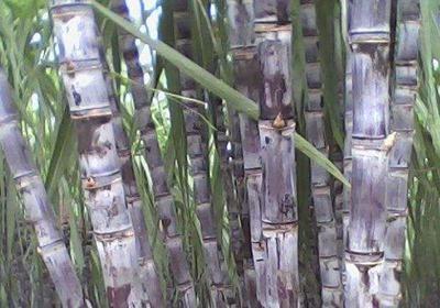 云南省临沧市双江拉祜族佤族布朗族傣族自治县糖蔗 6 - 8cm 1.5 - 2m