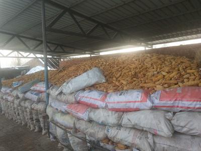 新疆维吾尔自治区塔城地区乌苏市玉米干粮 净货 水份20%-30%