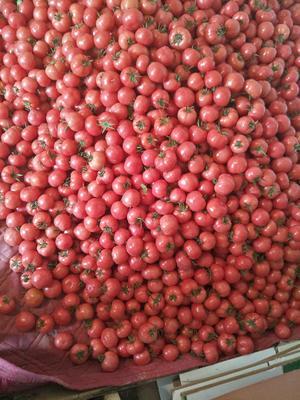 陕西省咸阳市泾阳县普罗旺斯番茄 通货 弧二以上 硬粉