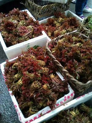 四川省达州市大竹县红油香椿芽 12cm以上