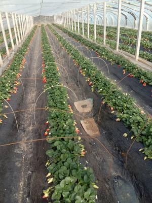山东省青岛市黄岛区甜宝草莓 30克以上