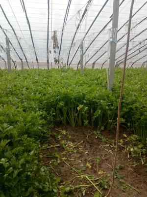天津静海县法国皇后芹菜 60cm以上 1.0~1.5斤 大棚种植