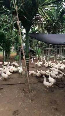 这是一张关于阳江鹅 10-12斤 统货 半圈养半散养 的产品图片