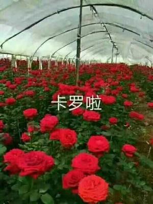 这是一张关于四季玫瑰 的产品图片