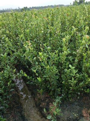 这是一张关于白茶树苗 嫁接苗 0.5~1米 的产品图片