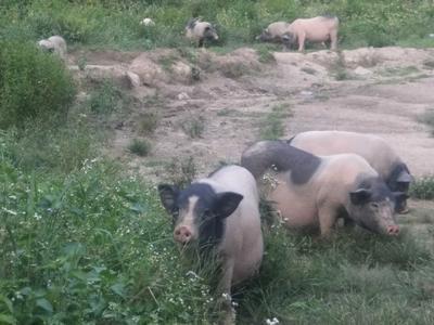江西省赣州市于都县巴马香猪 80斤以上