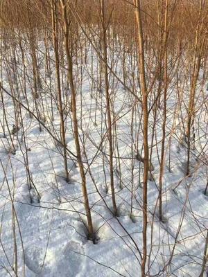 这是一张关于白桦树苗 的产品图片