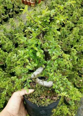 云南省昆明市呈贡区小叶榆树