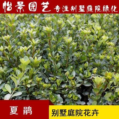 湖南省长沙市浏阳市夏鹃  工程绿化小苗