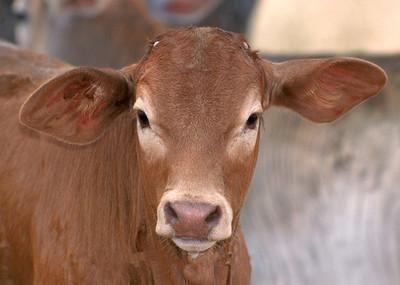 这是一张关于黄牛 600-800斤 统货 奶牛纯正,黄牛出肉高的产品图片