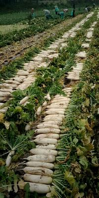 四川省眉山市东坡区韩国白萝卜 2~2.5斤