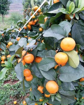 山东省泰安市岱岳区沙糖桔苗  嫁接苗 0.5~1米 金秋砂糖橘