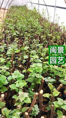 福建省漳州市漳浦县大红三角梅 0.2~0.5米