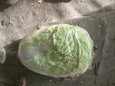 吉林省松原市宁江区环球白菜 3~6斤 二毛菜