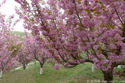 山东省泰安市岱岳区日本红叶樱花 3~3.5米 8~10公分