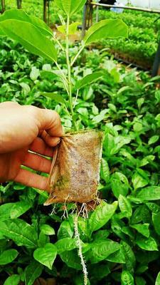 这是一张关于黄金百香果苗  紫香/绿皮百香果 的产品图片