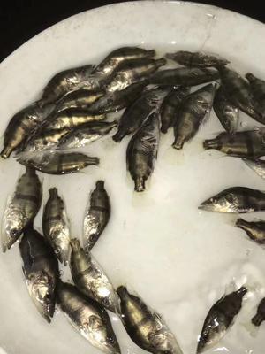 广东省广州市南沙区翘嘴鳜 人工养殖 0.2斤