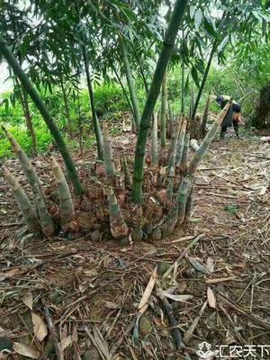 这是一张关于麻竹春笋 鲜笋 的产品图片