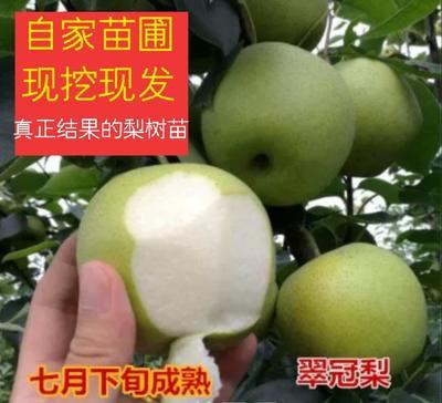 这是一张关于翠冠梨苗  1~1.5米 大果500克果味浓甜的产品图片