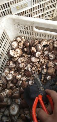 陕西省商洛市商南县香菇片  散装 1年以上 干香菇 花菇