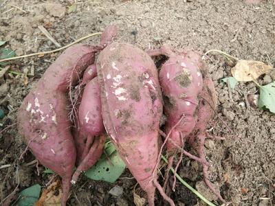 这是一张关于商薯19号 3两~6两 红皮 的产品图片