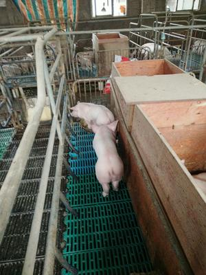 湖南省岳阳市汨罗市杜洛克仔猪