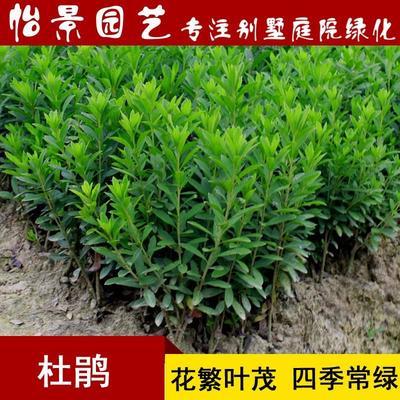 湖南省长沙市浏阳市春鹃 0.5米以下