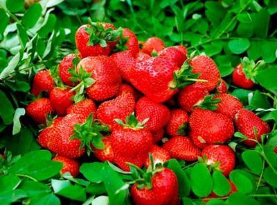 这是一张关于红颜草莓苗 20~30公分 地栽苗 的产品图片