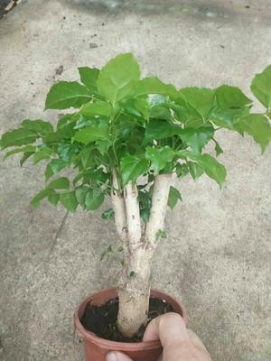 这是一张关于绿宝树 的产品图片