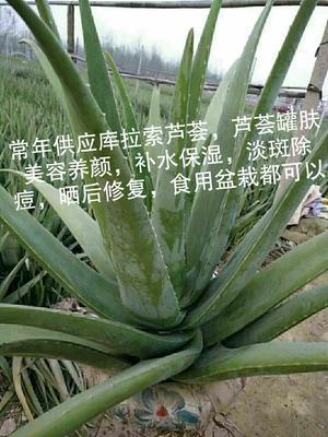 河南省周口市川汇区库拉索芦荟 18~20cm