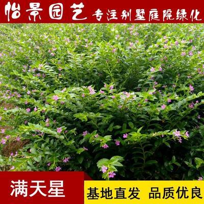 湖南省长沙市浏阳市满天星 萼距花庭院园林花卉