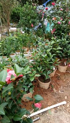 这是一张关于茶花苗 的产品图片