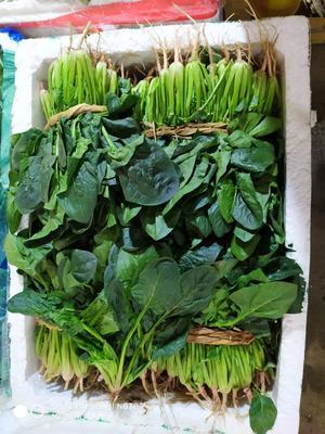 陕西省西安市雁塔区高杆菠菜 30~35cm