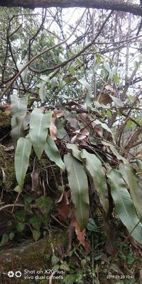 这是一张关于石韦  独叶茶 石苇 石皮的产品图片