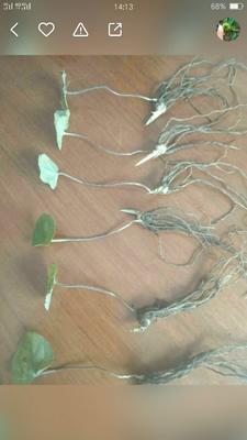 这是一张关于重楼苗 的产品图片