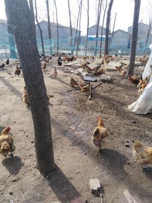安徽省宿州市砀山县土鸡蛋 食用 散装