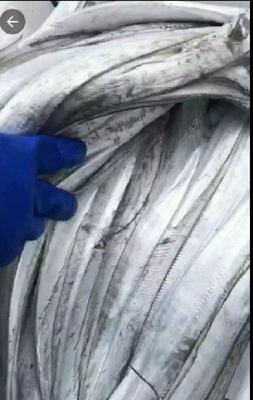 山东省济宁市任城区东海带鱼 野生 0.5公斤以下