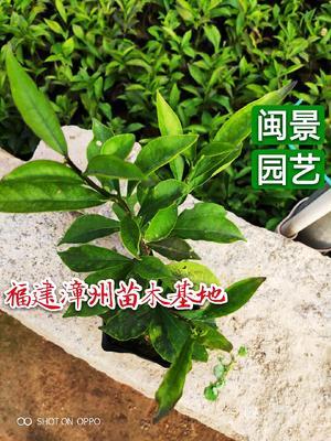 福建省漳州市漳浦县双色茉莉 高20到30