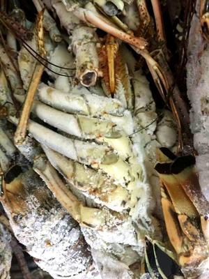 这是一张关于小青龙虾 的产品图片