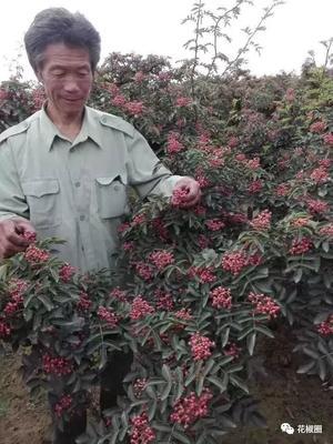 这是一张关于无刺花椒苗 的产品图片