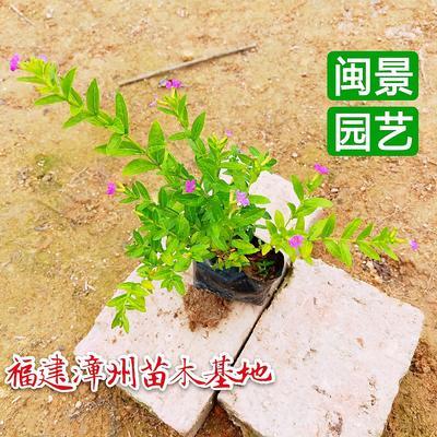 福建省漳州市漳浦县满天星 高度20到30