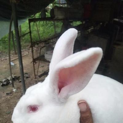 这是一张关于德系獭兔 3-5斤 的产品图片