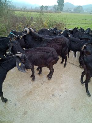 湖南省怀化市会同县黑山羊 30-50斤