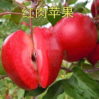 山东省临沂市平邑县红肉苹果树苗 1~1.5米