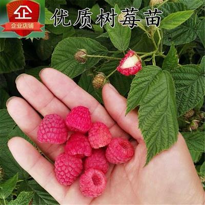 树莓苗 当年可挂果