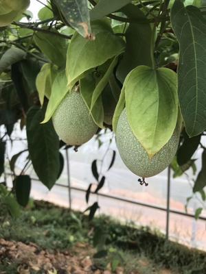 这是一张关于荔枝味百香果苗 的产品图片