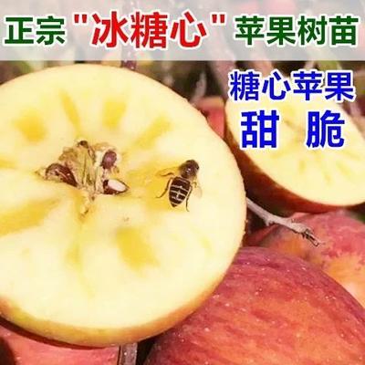 山东省临沂市平邑县冰糖心苹果苗 1~1.5米