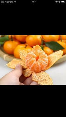 这是一张关于沙糖桔 4.5 - 5cm 1.5 - 2两 的产品图片