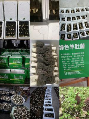 四川省成都市金堂县羊肚菌 鲜货 6cm~8cm 尖顶 灰黑色 人工种植